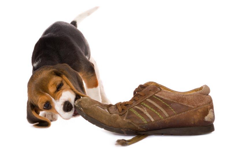 Hvalp med sko