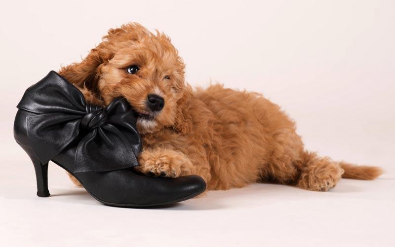 Hund med sko