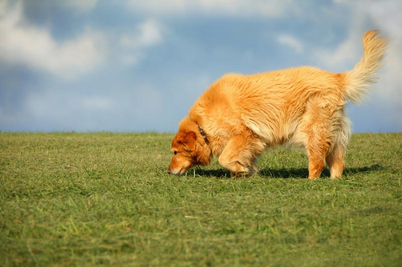 Søgende hund