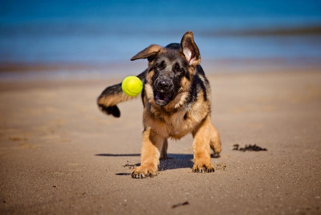 Hund med bold