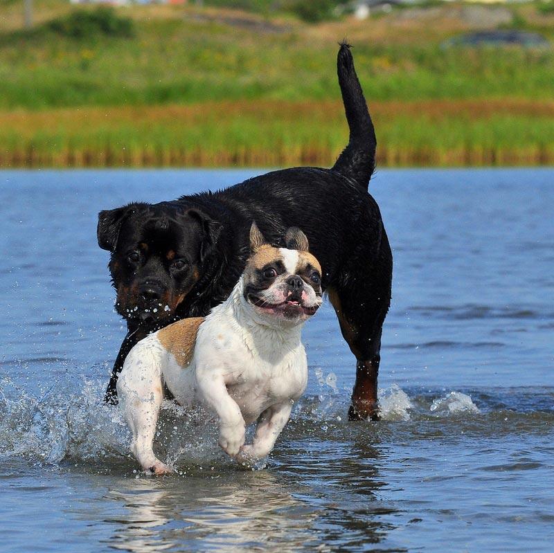 Hunde i vand